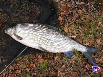бычок рыба речная фото